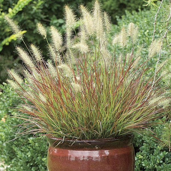10 ornamental grasses to grow in a pot 3