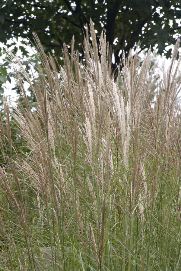 10 ornamental grasses to grow in a pot 5