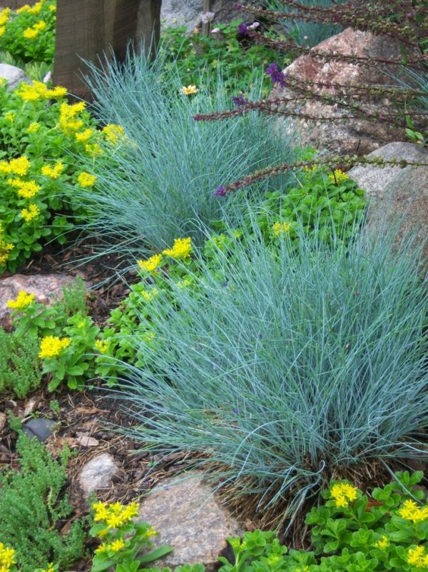 10 ornamental grasses to grow in a pot 7