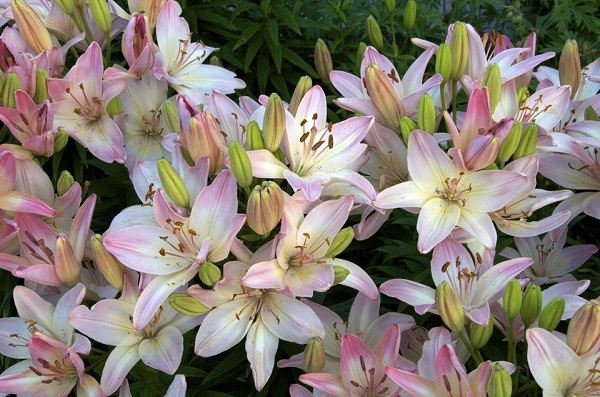 14 varieties of lilies or lilies to adorn your garden 1