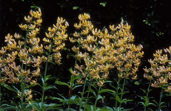 14 varieties of lilies or lilies to adorn your garden 4