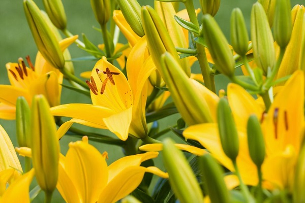 14 varieties of lilies or lilies to adorn your garden 5