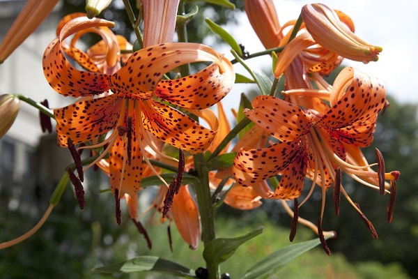 14 varieties of lilies or lilies to adorn your garden 7