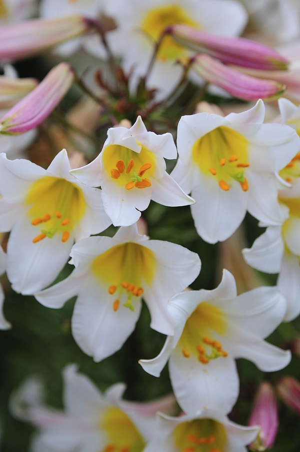 14 varieties of lilies or lilies to adorn your garden 8