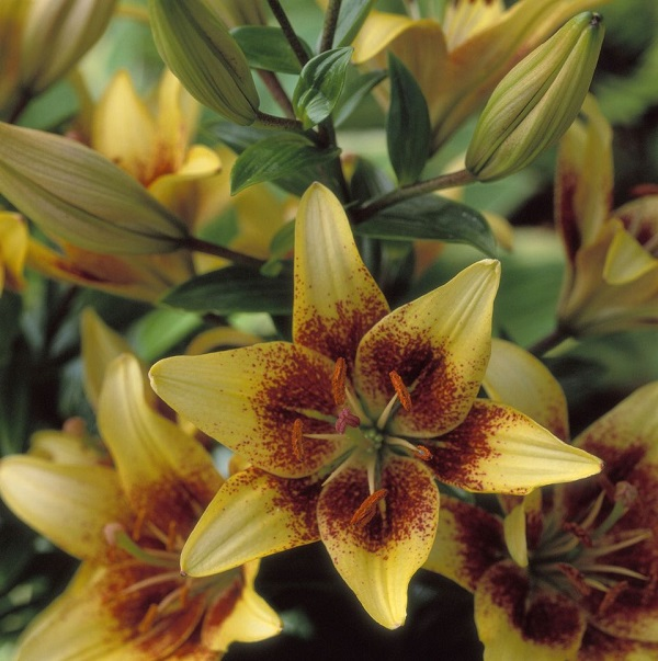 14 varieties of lilies or lilies to adorn your garden 12