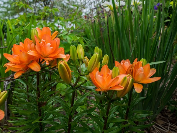 14 varieties of lilies or lilies to adorn your garden 13