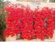 imagen 5 Enredaderas perennes para cultivo en sombra