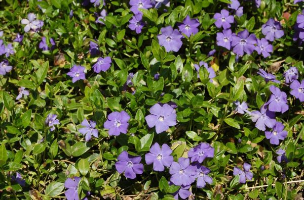 5 Vines perennials for growing in shady 4