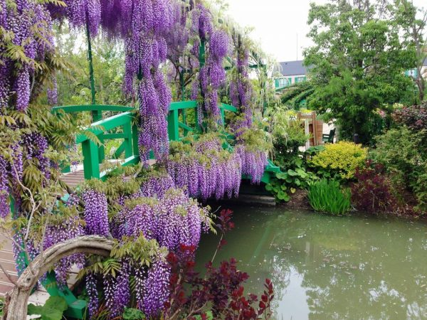 5 Vines perennials for growing in shady 5