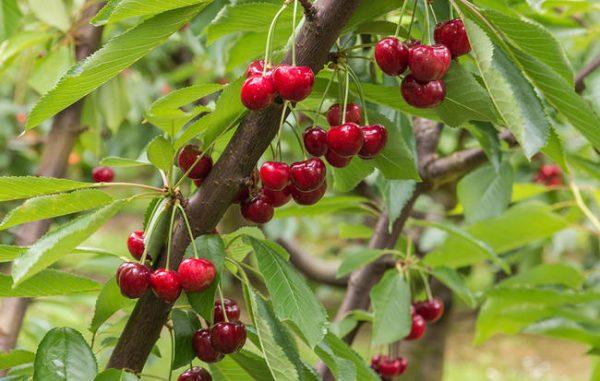 How to grow cherries 1