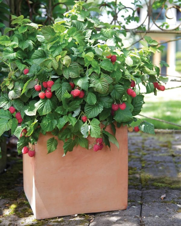 Grow raspberries from seeds 1