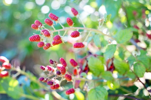 Grow raspberries from seeds 4