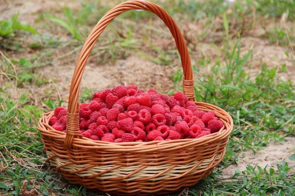 Grow raspberries from seeds 6