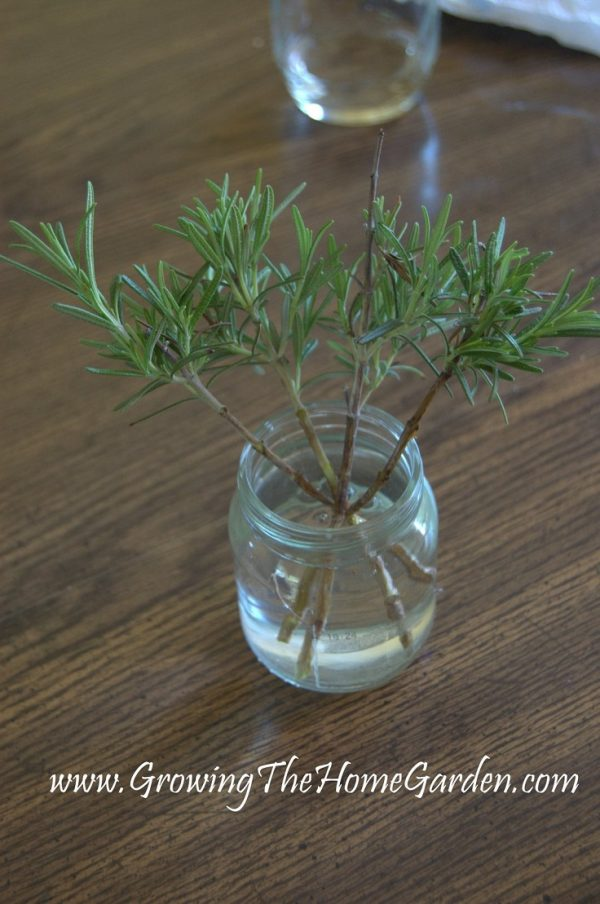 10 vegetables and herbs that can take root in water 3