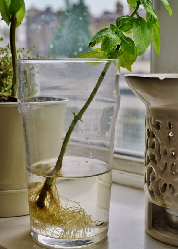 10 vegetables and herbs that can take root in water 7