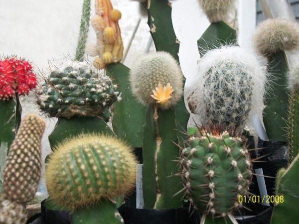 Methods of propagation of cacti and succulents 4