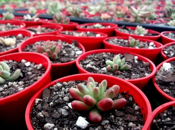 Methods of propagation of cacti and succulents 1