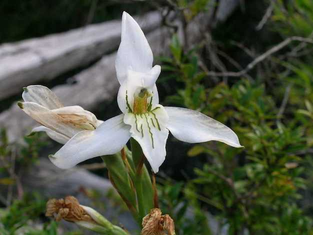 Chloraea longipetala