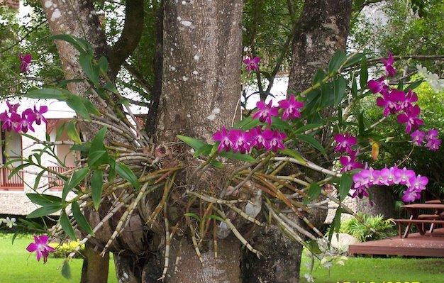 Orquídeas Epifitas