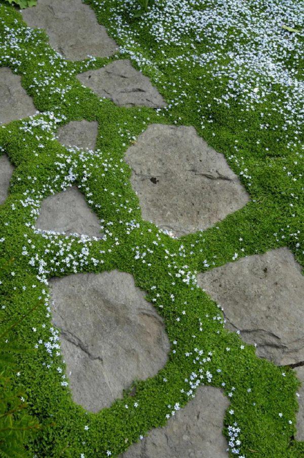 la isotoma fluviatilis es una planta muy verstil y resistente aguanta las pisadas y tiene un crecimiento rpido sus pequeas flores azules