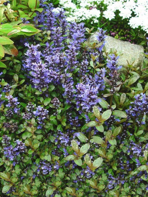 Plantas tapizantes para caminos de jard n - Plantas para jardin zen ...