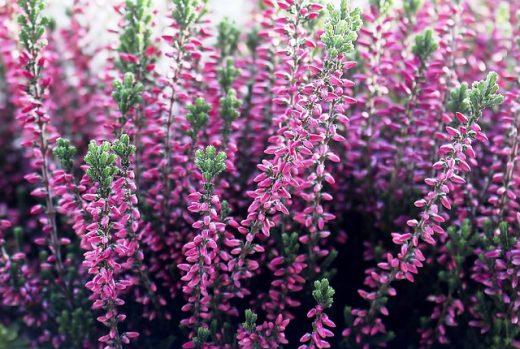 Plants that need exclusively acidic soils 3