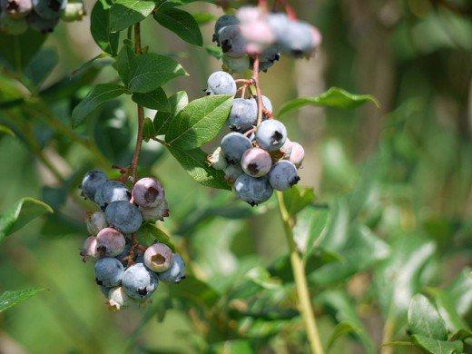 Plants that need exclusively acidic soils 4