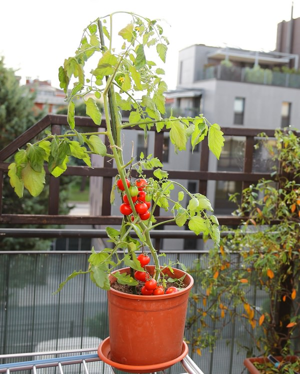 13 top tips for growing the best tomatoes in the pot 1