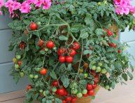 imagen 13 tips básicos para cultivar los mejores tomates en maceta