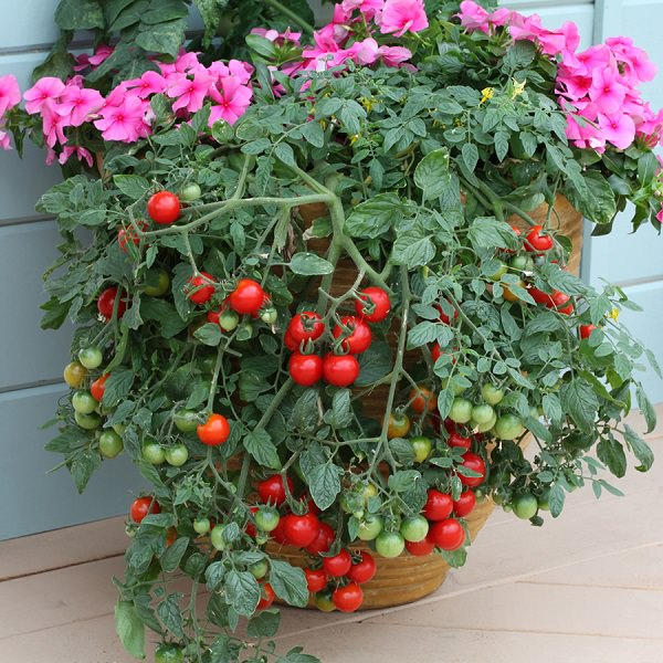 13 top tips for growing the best tomatoes in the pot 4