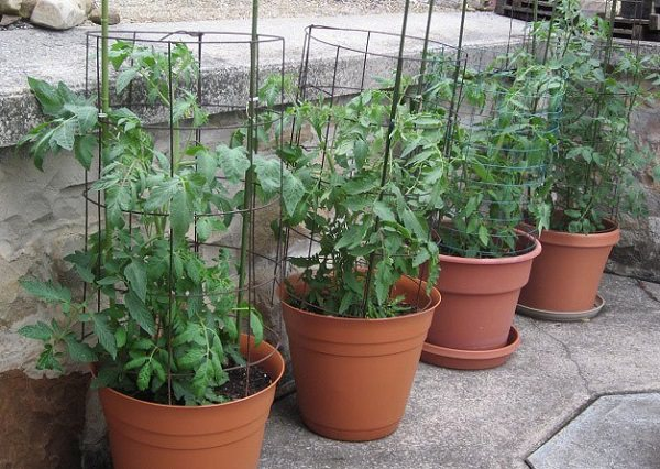 13 top tips for growing the best tomatoes in the pot 9