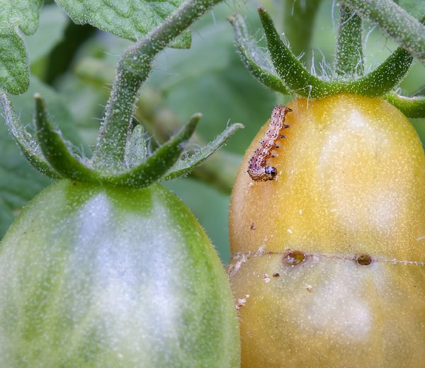 13 top tips for growing the best tomatoes in the pot 11