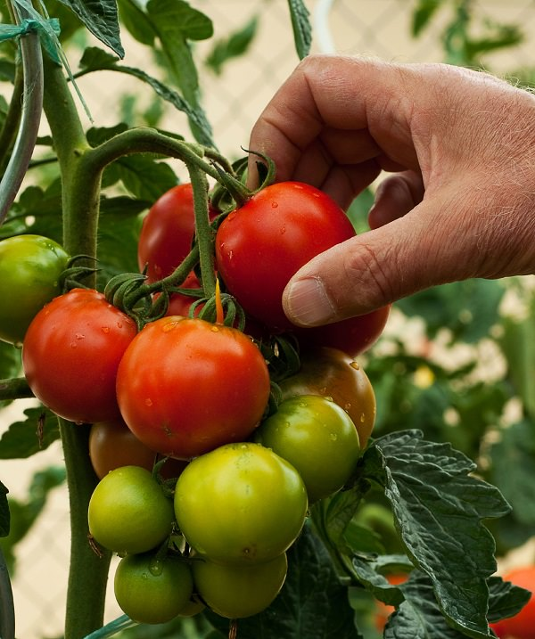13 top tips for growing the best tomatoes in the pot 12