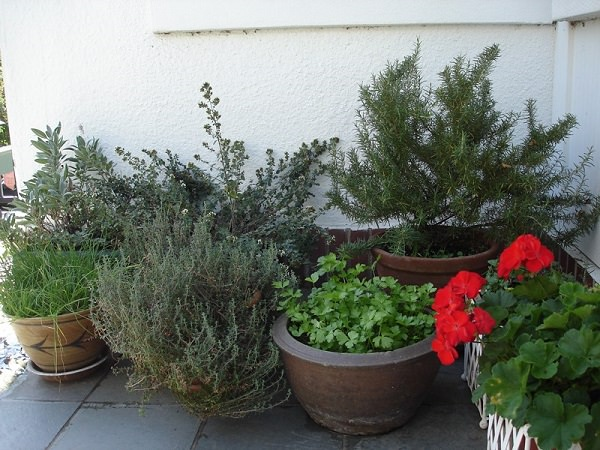 7 tips for growing herbs in pots 1