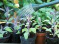 imagen 7 consejos para cultivar hierbas aromáticas en maceta