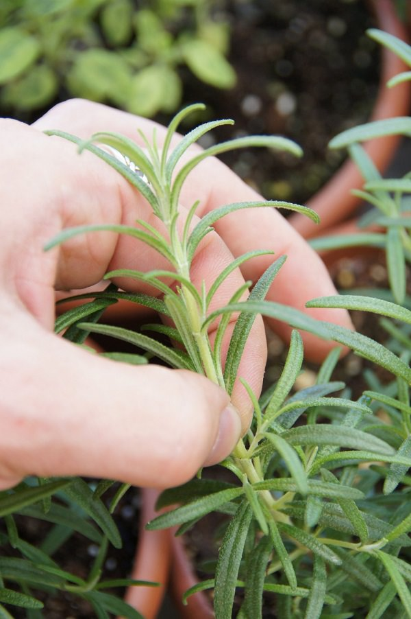 7 tips for growing herbs in pots 7