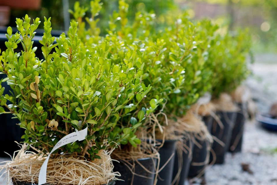 How to create step by step a hedge or fence of boxwood 1