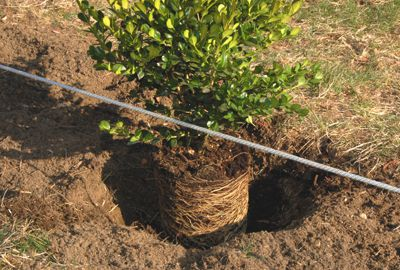 How to create step by step a hedge or fence of boxwood 7
