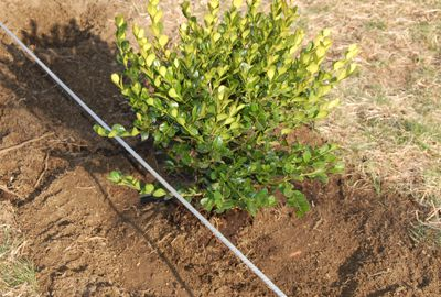 How to create step by step a hedge or fence of boxwood 8