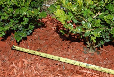 How to create step by step a hedge or fence of boxwood 10