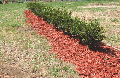 How to create step by step a hedge or fence of boxwood 11
