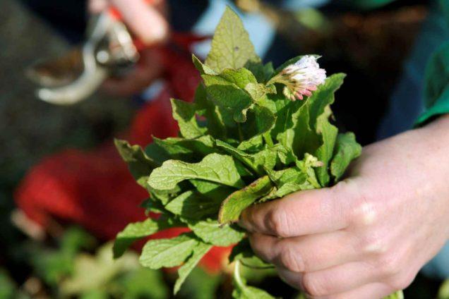 How to prepare fertilizer from comfrey 2