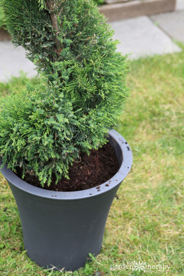 Care and maintenance of a topiary decorative 6