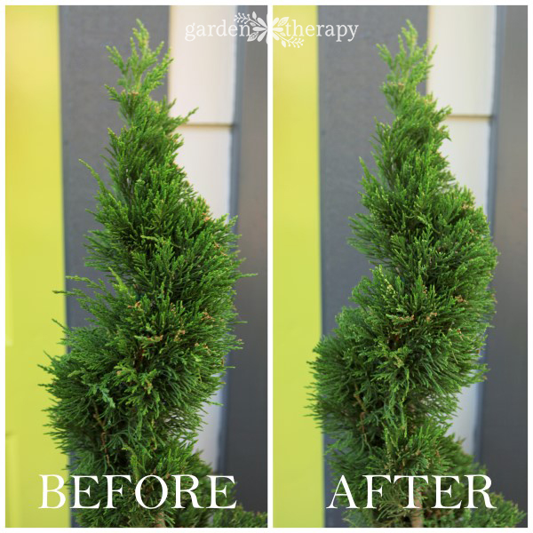 Care and maintenance of a topiary decorative 10