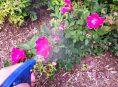 imagen Fertilizantes y remedios caseros para tus rosales