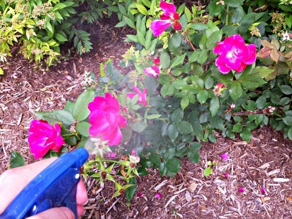 Fertilizers and home remedies for your roses 10