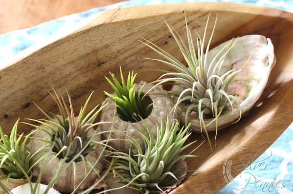 Decorating Ideas with air plants 6