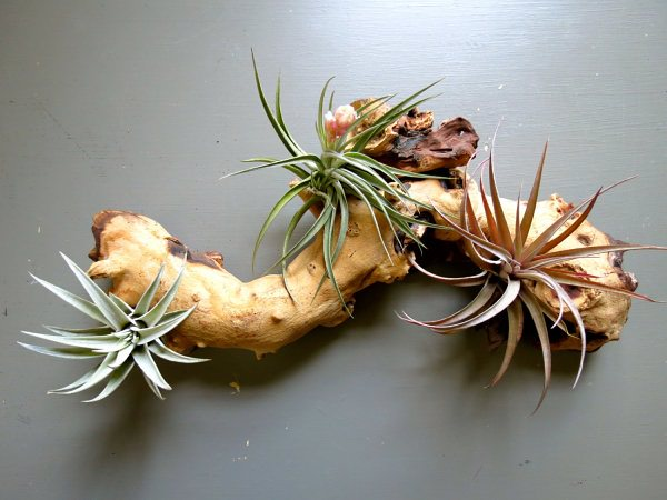 Decorating Ideas with air plants 12