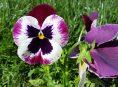 imagen ¿Qué es una planta bianual?