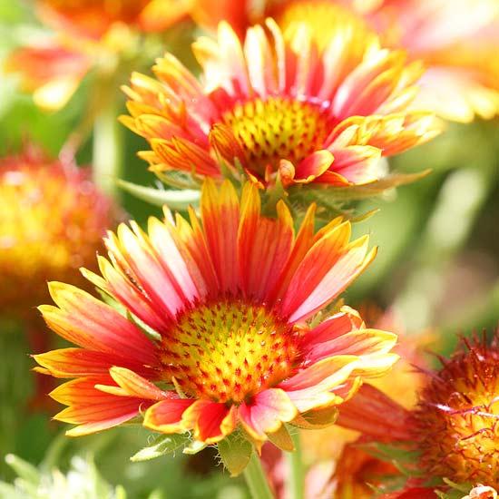 20 plantas perennes de flor para tu jard n - Arbustos perennes para jardin ...